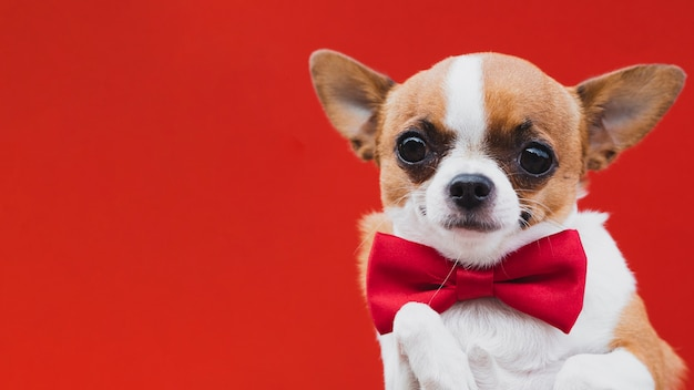 Cute chihuahua with red bow tie and copy space background