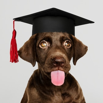 Cute chocolate labrador retriever in a graduation cap