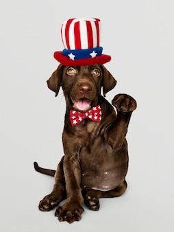 Cute chocolate labrador retriever in uncle sam hat and bow tie