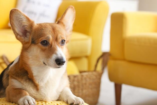 自宅でかわいいコーギー犬