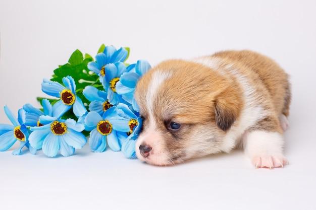 白い背景の上に横たわるかわいいコーギー子犬ウェールズペンブローク