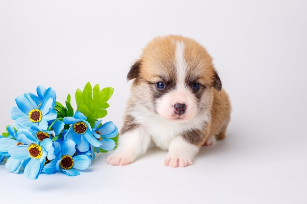 Cute corgi puppy welsh pembroke lying on a white background