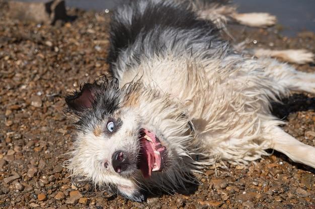 Симпатичная сумасшедшая мокрая австралийская овчарка блю-мерль, лежа в песке, после купания в реке летом. всплеск воды. развлекайтесь с домашними животными на пляже. путешествуйте с домашними животными.