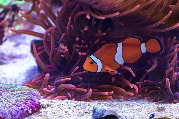 海で泳ぐかわいい王冠の魚