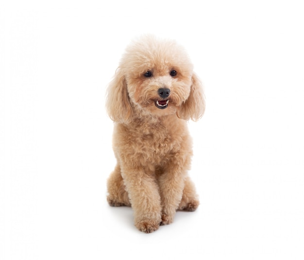 Cute curly-haired poodle