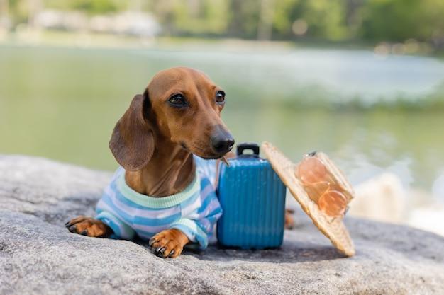 Милая собака такса сидит у воды с чемоданом на морском отдыхе с домашними животными