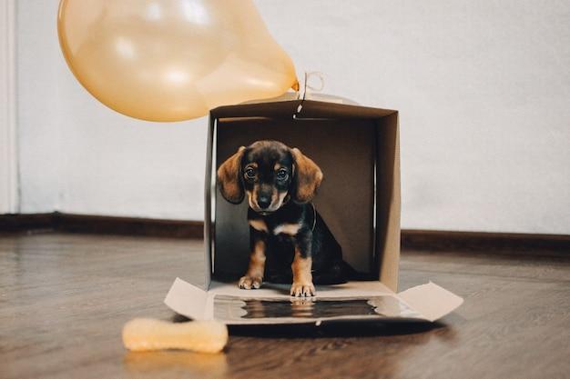 現在のボックスにギフトボックスが入ったかわいいダックスフントの子犬小さな子犬が段ボール箱に座っています。