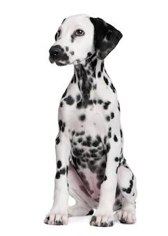 Милый далматинский щенок портрет изолированные