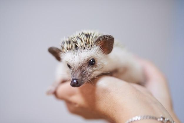 그의 손에 귀여운 장식 고슴도치
