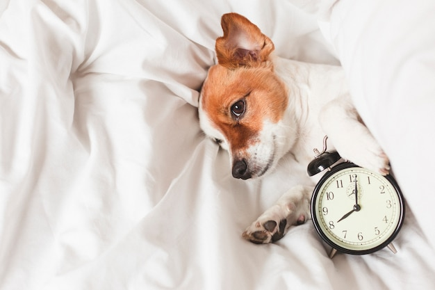 Cute dog on bed at home with alarm clock