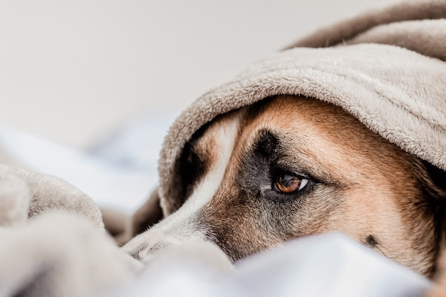 Cute dog on bed laying under a blanket
