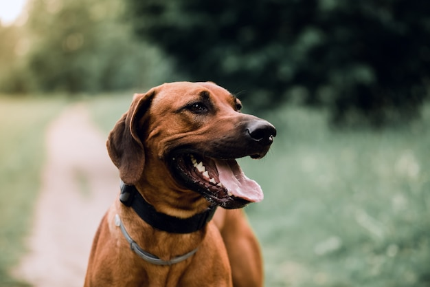 Cute dog breed rhodesian ridgeback on the background of nature