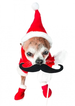 Cute dog chihuahua in santa claus costume with black fake mustache on isolated white.