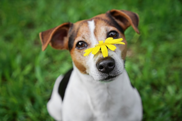 Cute dog in green grass with yellow flower on muzzle