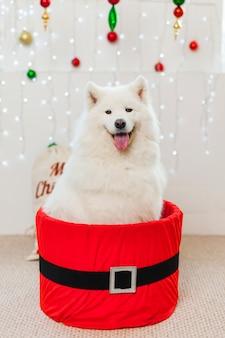 クリスマスの赤いギフトボックスにかわいい犬。白いサモエド犬のクリスマスの子犬のギフトボックスプレゼントサプライズ