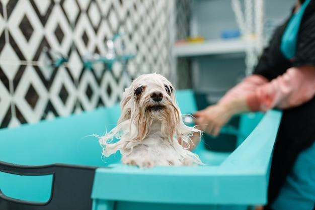 泡のかわいい犬、女性のグルーマー、グルーミングサロン。小さなペットを持つ女性は毛皮を切り落とす準備をします