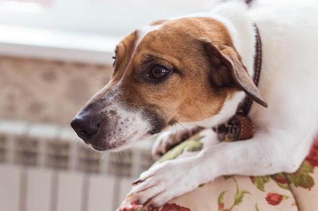 かわいい犬のジャックラッセルテリア屋内