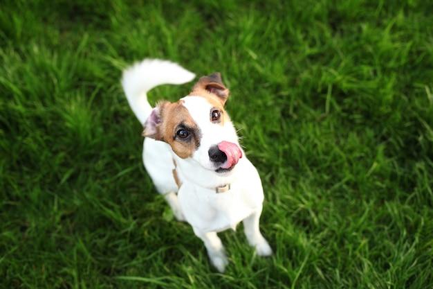 Милая собака джек рассел терьер облизывает свой нос с розовым языком, болтающимся. портрет смешной домашней собаки есть очень вкусную еду. маленький друг для детей и семьи. собака сидит в парке