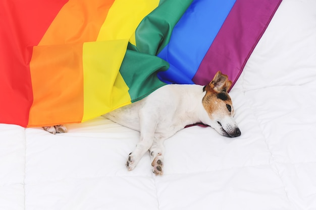 Cute dog jack russell wrapped in rainbow lgbt flag lying on white bed