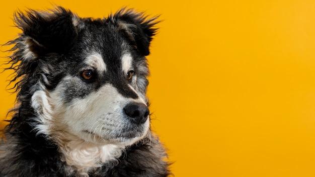 黄色の背景に目をそむけるかわいい犬