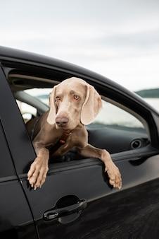 車の窓の外を見ているかわいい犬