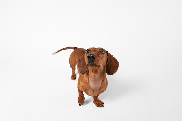 スタジオで見上げるかわいい犬