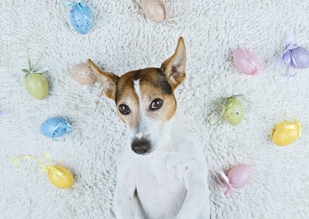 Cute dog lying back on white rug with easter painted eggs