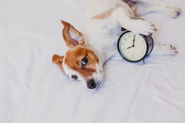 Cute dog lying on bed with an alarm clock set on 8 am. morning and wake up concept at home.