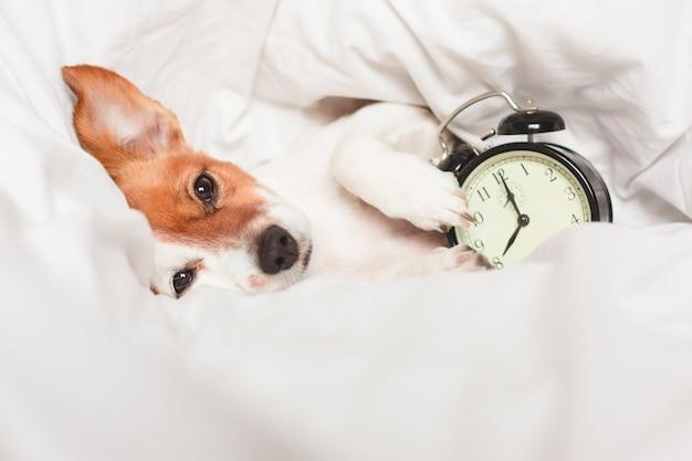 目覚まし時計と自宅のベッドの上のかわいい犬