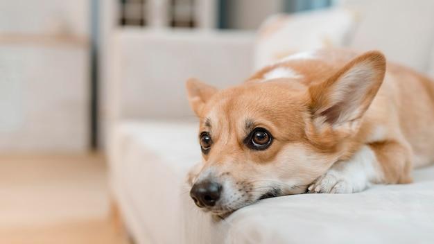 自宅のソファの上のかわいい犬