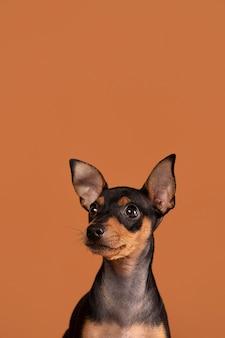 スタジオでかわいい犬の肖像画