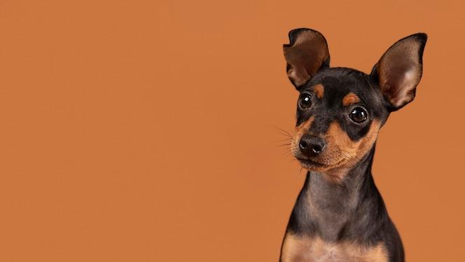스튜디오에서 귀여운 강아지 초상화