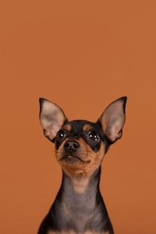 Cute dog portrait in a studio