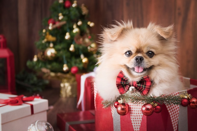 Cute dog puppies pomeranian wearing santa claus hat in gift box