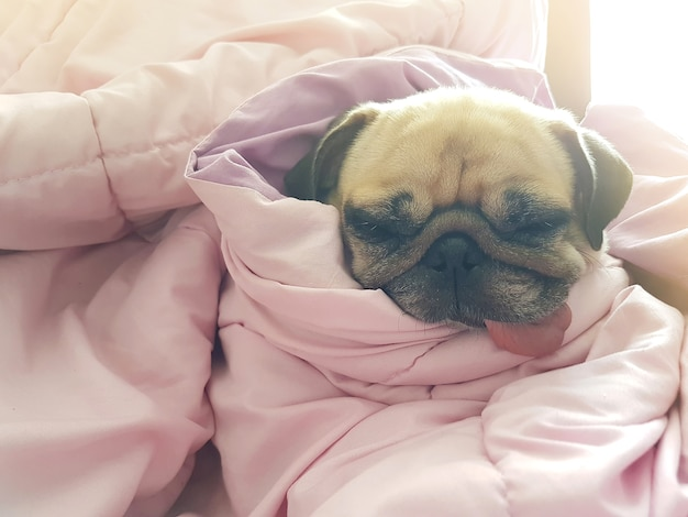 Cute dog puppy pug sleep rest on sofa bed with tongue out and wrapped blanket