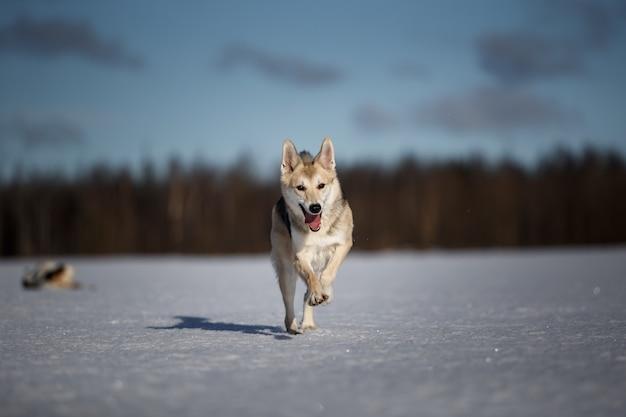 겨울 들판에서 앞으로 달리는 귀여운 강아지