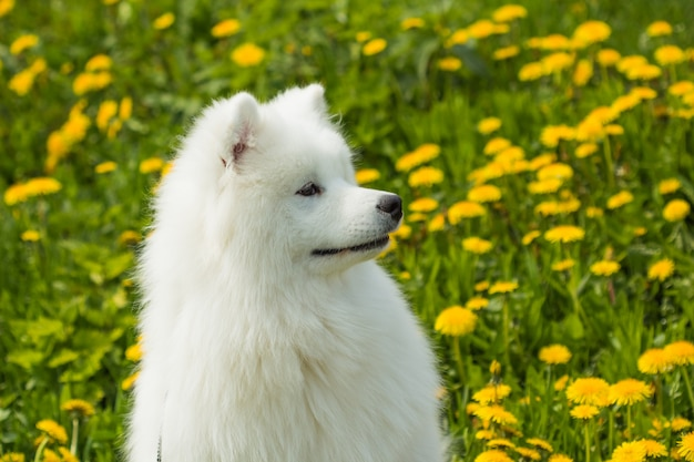 Cute dog samoyed puppy in profile