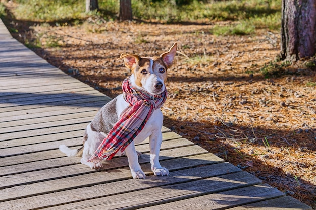 Cute dog in scarf sitting on wooden boardwalk looking at camera