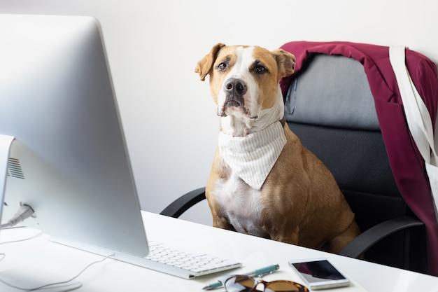 Милая собака сидит в офисном кресле на современном рабочем месте. собираюсь работать с концепцией домашних животных: щенок стаффордширского терьера перед настольным компьютером