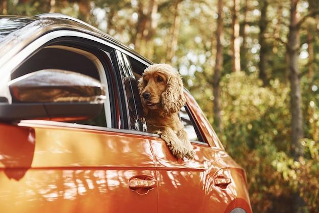 Милая собачка сидит в машине и смотрит в окно в лесу.
