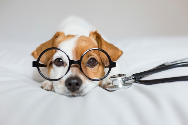 Cute dog sitting on bed. wearing stethoscope and glasses. doctor or a vet concept