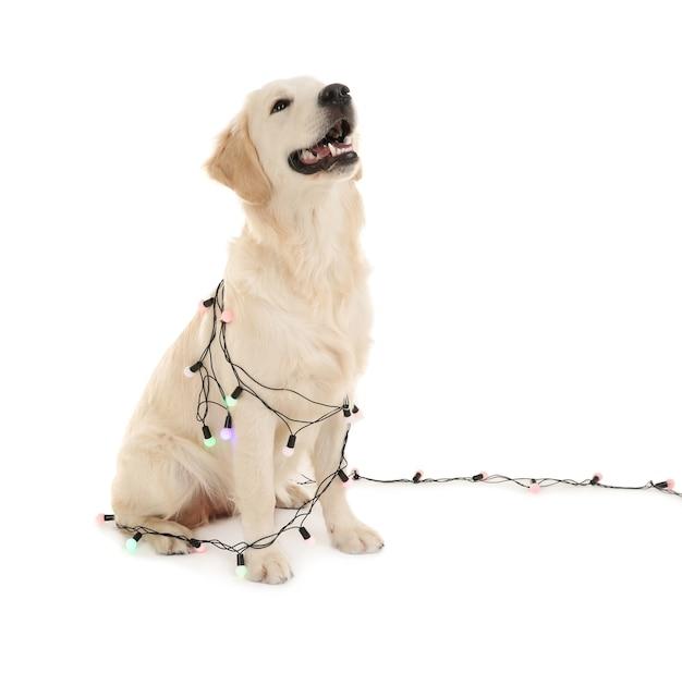 白い背景の上のクリスマスライトと一緒に座っているかわいい犬