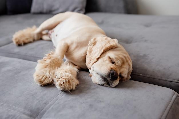 Cute dog sleeps on a gray sofa