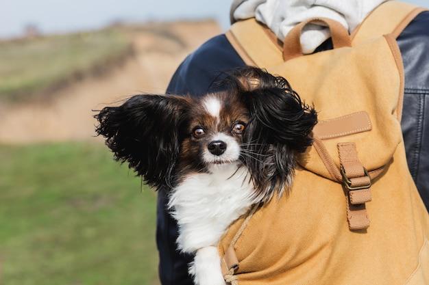 バックパックに座っている大きな風の強い耳のかわいい犬