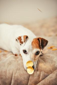 그의 코에 금색 색종이와 귀여운 강아지. 크리스마스와 새해 준비. 집에서 축하합니다. 생활 양식.