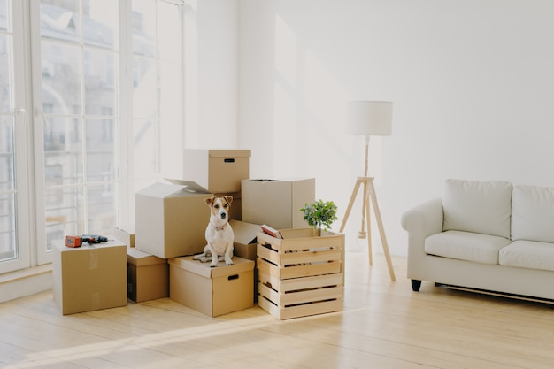Cute domestic dog poses near cardboard boxes in spacious room with sofa