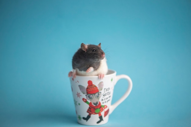 Cute domestic rat in white coffee cup isolated on blue .concept of new year 2020.
