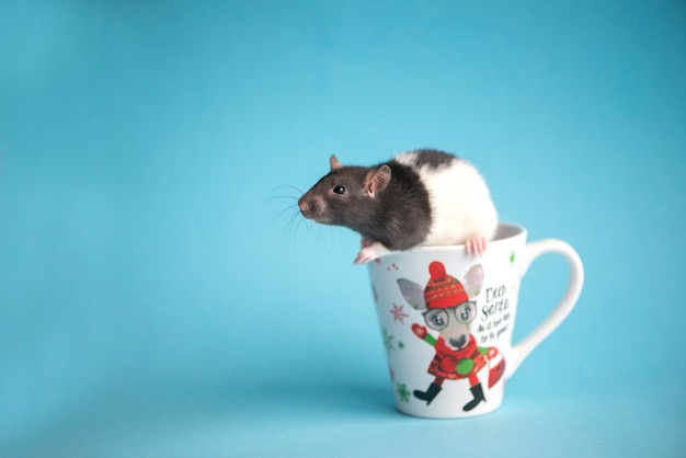 Cute domestic rat in white coffee cup isolated on blue, new year rat.