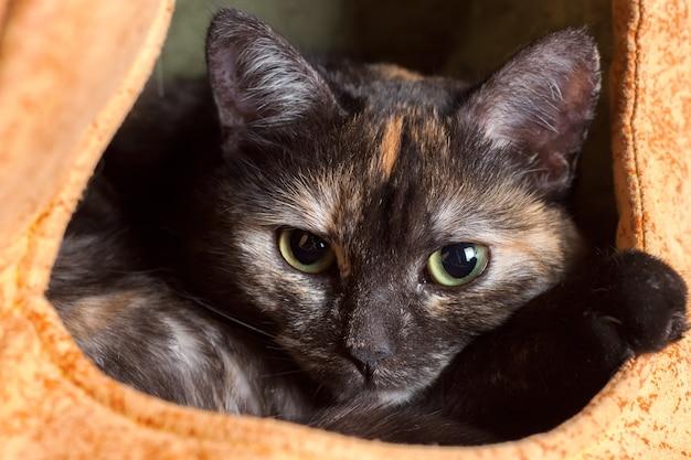 Милый домашний трехцветный черный кот отдыхает в кошачьем домике. портрет животного крупным планом.