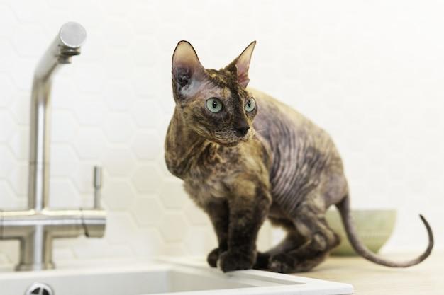 Милый кот донской сфинкс сидит у раковины на кухне